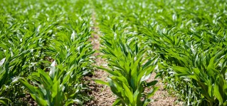 Our view: the 2016 and 2018 Atrazine Risk Assessments